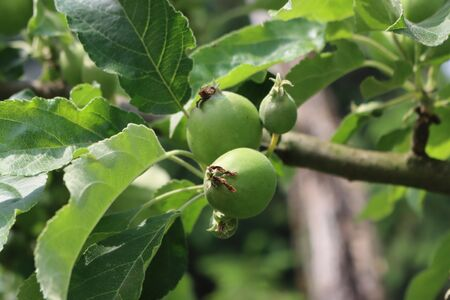 Close-up of small green apples growing on branch on tree in the orchard on a sunny day. Malus domestica