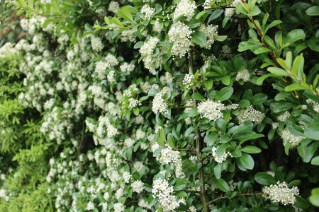 Pyracantha bush with many beautiful white flowers. Firethorn in bloom on springtime