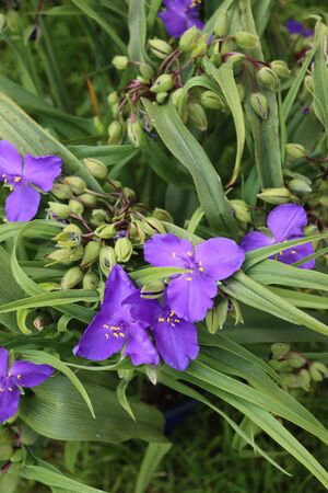 Close-up of Tradescantia purple flowers in the garden. Tradescantia virginiana plant in bloom