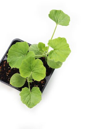 Green pumpkin plants in a black plastic pot ready to transplant isolated on white background