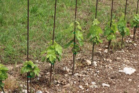 Young fresh Vine plants growing in the field on a sunny day. Vitis vinifera cultivation