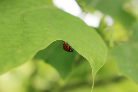Close-up of a ladybird on a green leaf in the garden. Ladybug family insect Фото со стока