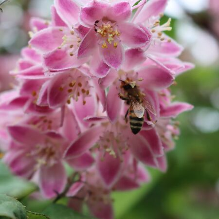 Honey bee collecting pollen on a Deutzia Tourbillon Rouge pink flower on springtime. Honey bee on Deutzia bush in bloom Фото со стока