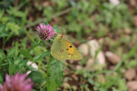 Close-up of a clouded yellow butterfly on a pink Clover flower Colias croceus butterfly on flower
