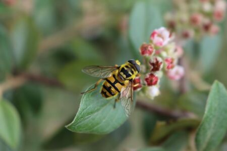 German wasp or German yellowjacket on a pink Cotoneaster flower on branch. Vespula germanica in the garden Фото со стока