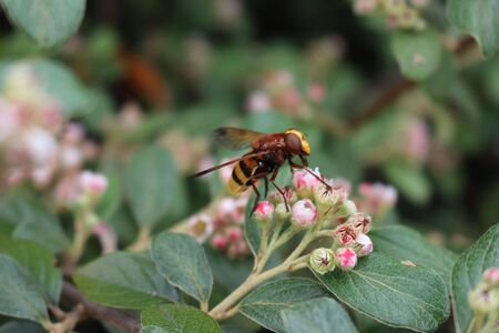 Hornet wasp collecting nectar on a pink Cotoneaster flower on branch. Vespa crabro insect in the garden Banque d'images