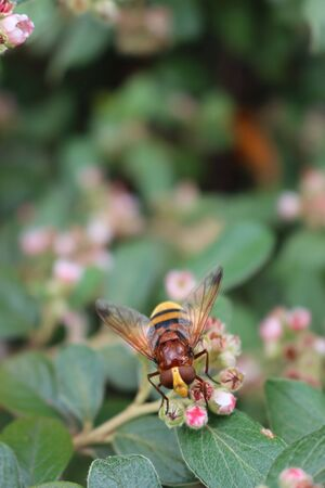Hornet wasp collecting nectar on a pink Cotoneaster flower on branch. Vespa crabro insect in the garden Фото со стока