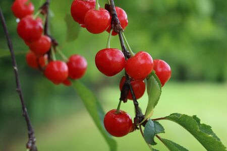 Ripe red sour cherry fruits on branch in the orchard. Prunus cerasus fruit Фото со стока