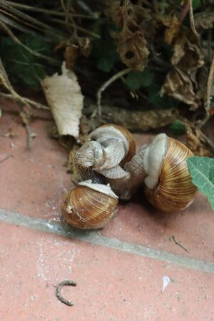 Gastropods in the garden. Three brown land snails during mating on springtime Фото со стока