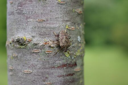 Brown Marmorated shield bug on a tree trunk. Halyomorpha halys insect on tree