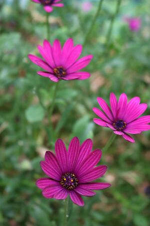 Close-up of beautiful purple Osteospermum or african daisy pink flowers in the garden