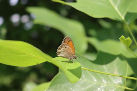 Orange and brown butterfly on a green leaf in the garden on springtime. Lycaena phlaeas butterfly