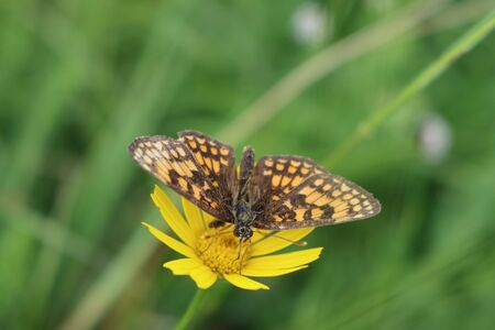 Brown and orange butterfly on yellow flower. Melitaea diamina butterfly on wild flower Фото со стока