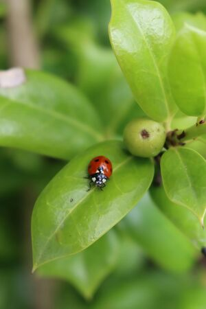 Ladybird on a green leaf. Harmonia axyridis, most commonly known as the harlequin on green leaves of Holly bush in the garden