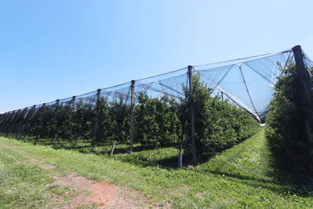 Protection nets against birds, insect and hailstones on a apple orchard In the italian countryside Stock fotó