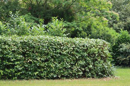 Pruned cherry laurel hedge in the garden. Pruning a Prunus laurocerasus bush