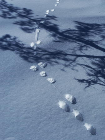 Footprints of a rabbit on a snowy field with a shadow of a tree photo