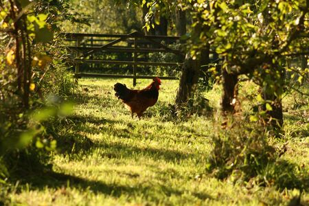 A chicken wandering in the grass, looking for food