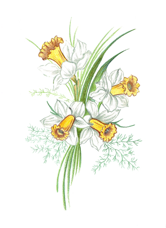 Hand drawing of a realistic colored pencils bouquet of flowers narcissus with stems