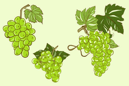 Vector illustration of green bunches of grapes with leaves on a light green background