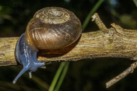 blue snail on a wood background, Oxychilus fuscosus