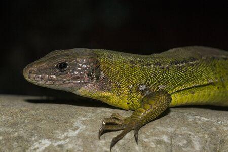 Western green lizard, rock on a black background Stockfoto