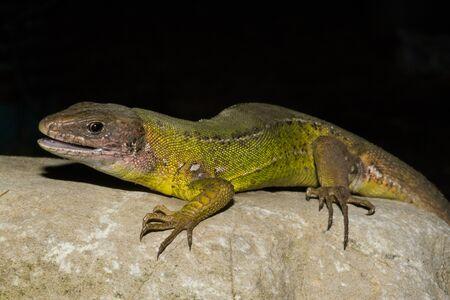 Western green lizard, rock on a black background Stock Photo