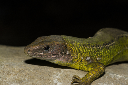 scaly: Western green lizard, Lacerta bilineata