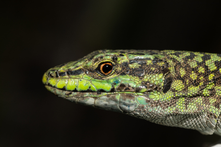 insectivorous: Italian wall lizard, ruin lizard, Podarcis siculus Stock Photo
