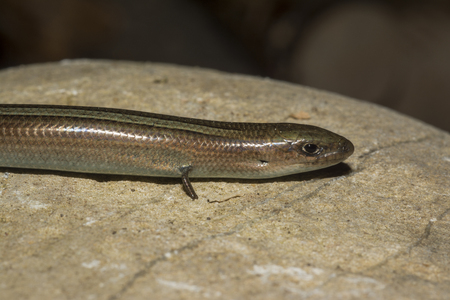 Italian three-toed skink or just the three-toed skink (Chalcides chalcides