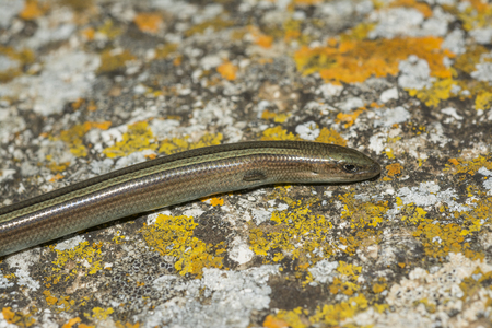 insectivorous: Italian three-toed skink or just the three-toed skink (Chalcides chalcides