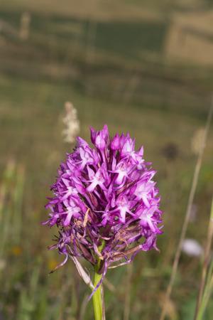 Pyramidal orchid, Anacamptis pyramidalis Stockfoto
