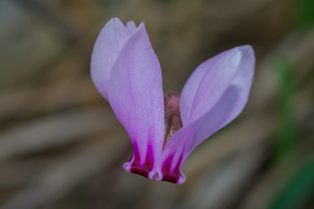 Cyclamen hederifolium ivy-leaved cyclamen or sowbread Stockfoto