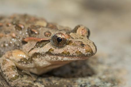 Mediterranean painted frog, Discoglossus pictus