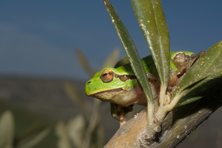 Italian tree frog, Hyla intermediate Stockfoto