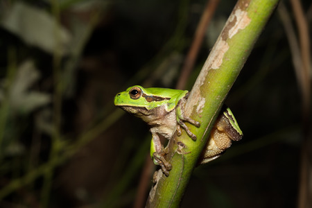 Italian tree frog on a woodland background, Hyla intermediate