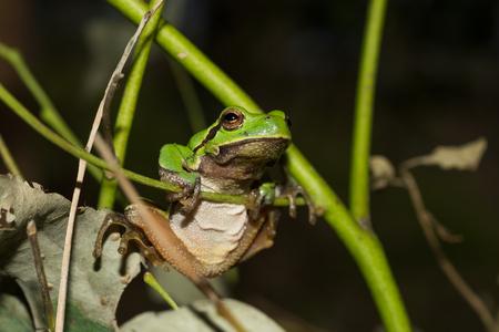 Italian tree frog on a woodland background, Hyla intermediate