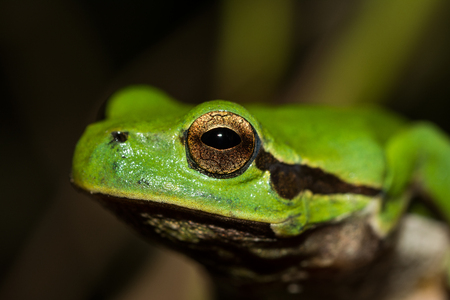 Italian tree frog on a woodland background, Hyla intermediate, macro, eye detail
