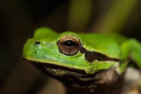 Italian tree frog on a woodland background, Hyla intermediate, macro, eye detail