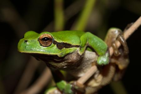 Italian tree frog on a woodland background, Hyla intermediate, portrait,