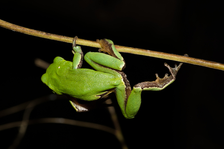 Italian tree frog on a woodland background, Hyla intermediate, gym Stockfoto
