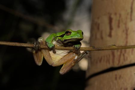 Italian tree frog on a woodland background, Hyla intermediate, muscle up,