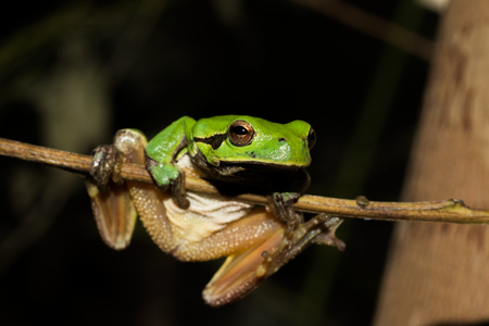 Italian tree frog on a woodland background, Hyla intermediate, muscle up,