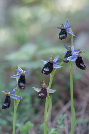 Bertoloni's Bijenorchidee, wilde orchidee, Ophrys bertolonii Stockfoto - 94104365