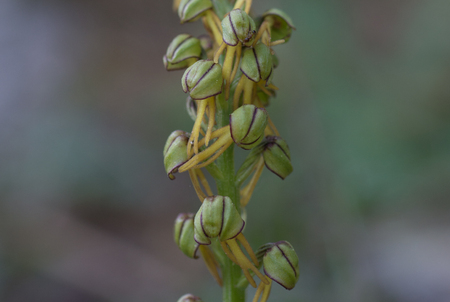 The Man Orchid detail, Orchis anthropophora