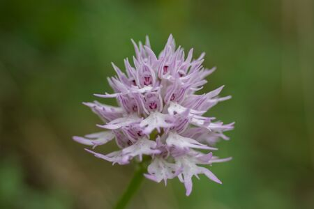 Naked man orchid or the Italian orchid, Orchis italica