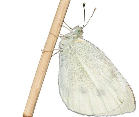 Echte vlinder die op witte achtergrond, Pieris-rapae wordt geïsoleerd Stockfoto - 94150530