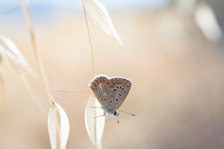 The common blue (Polyommatus icarus), butterfly on a wild oat florets (Avena fatua)