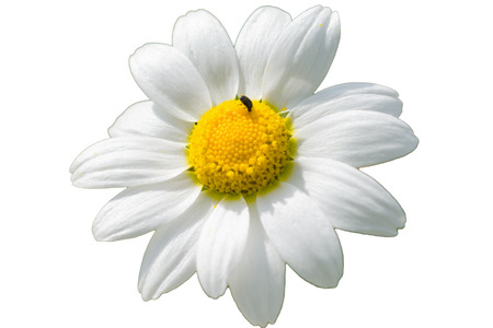 Chamomile flower, camomile, scented mayweed, Matricaria chamomilla isolated Banque d'images