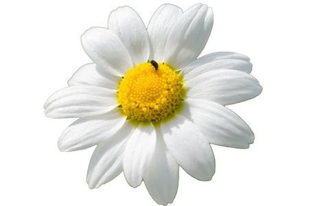 Chamomile flower, camomile, scented mayweed, Matricaria chamomilla isolated Stockfoto